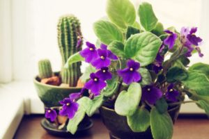 african violets plant