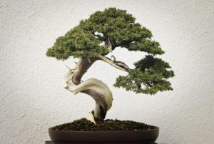 bonasi tree